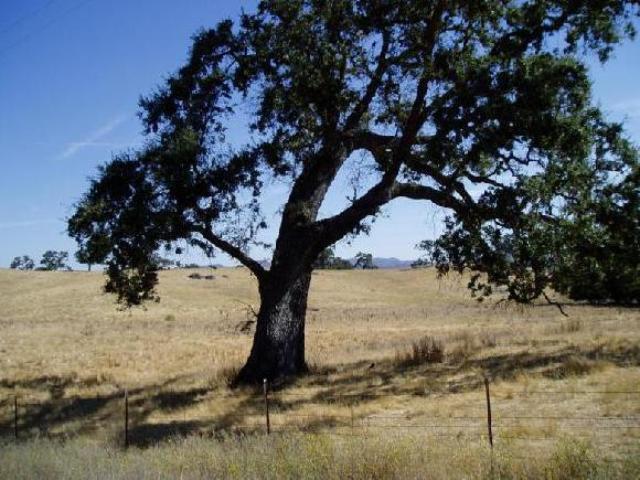 A beautiful, healthy Live Oak stands virtually alone in a field. Live Oaks live for centuries. A tree's life will span several human generations. Also half the tree is rooted in the underworld. There is a mythological wholeness that humbles me and draws my imagination.